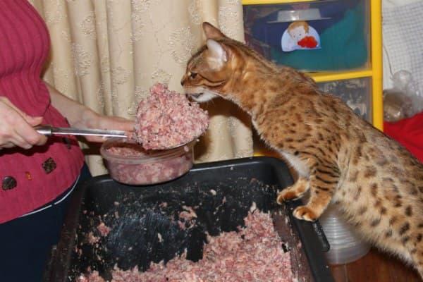 Натуральное питание для взрослой бенгальской кошки