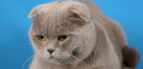 Особенности натурального питания шотландских котят