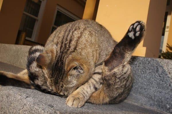 Параанальные железы у кошек. Лечение воспаления читайте статью