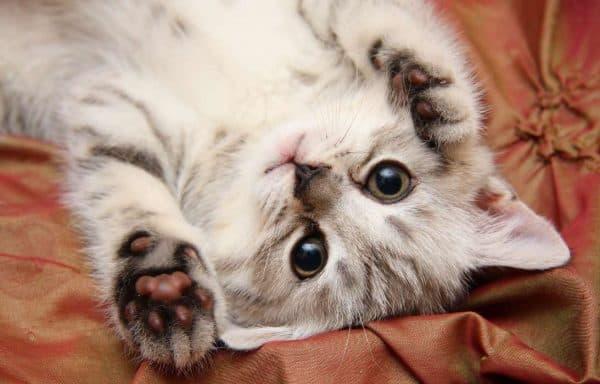 Параанальные железы у кошек: профилактика и лечение воспаления- Инструкция  Фото и Видео