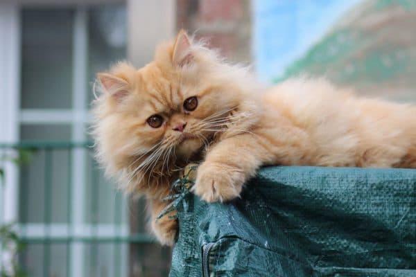 Персидский красивый котенок