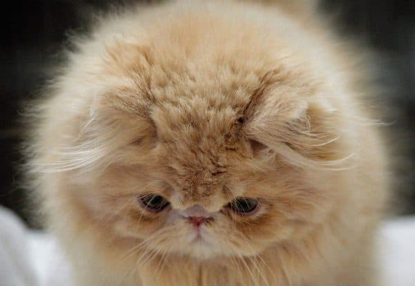 Персидский милый котенок