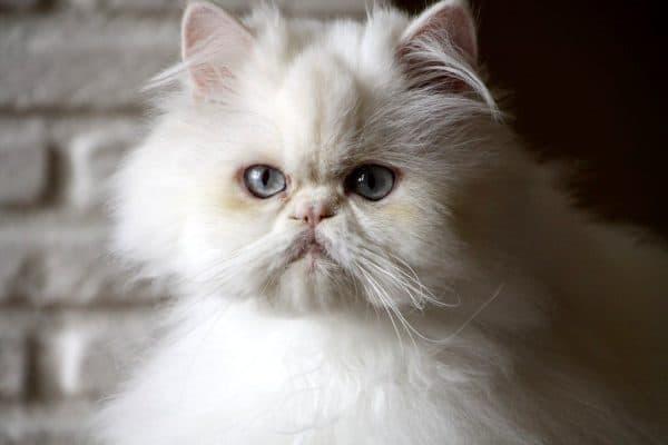 Персидский прекрасный котенок