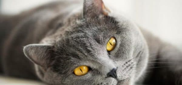 Питание британской кошки