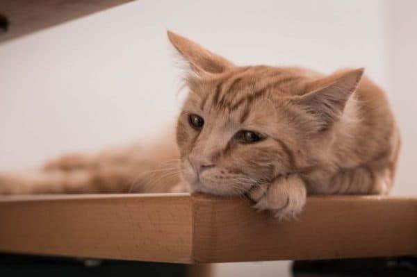 Почечная недостаточность у котов