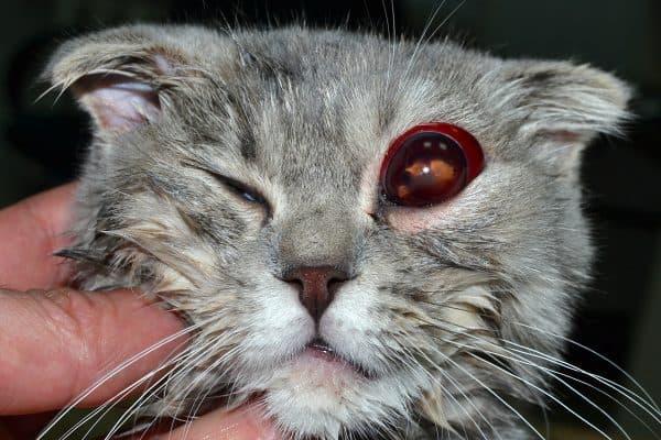 Проптоз у кошек