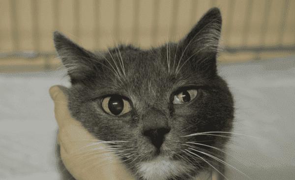 Птоз у кошек
