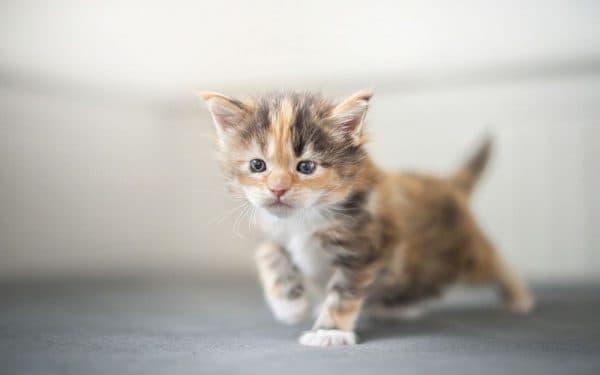 Трехцветный прекрасный котенок
