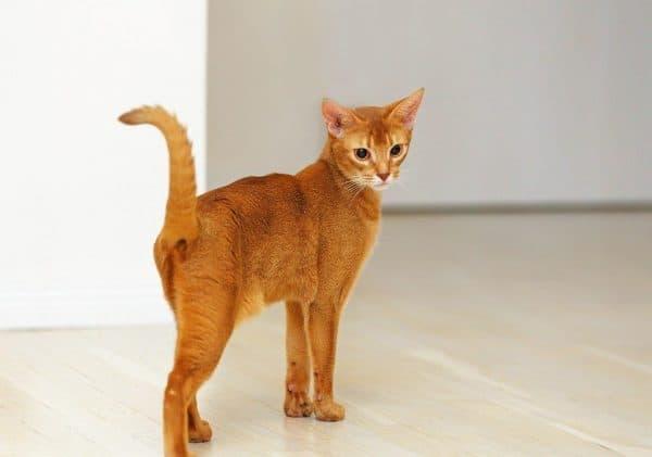 Абиссинские кошки рыжие
