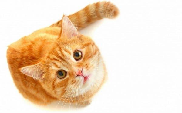 Болезни печени у кошек. Общая симптоматика