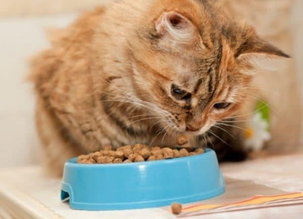 Чем кормить беременную кошку. Готовые корма