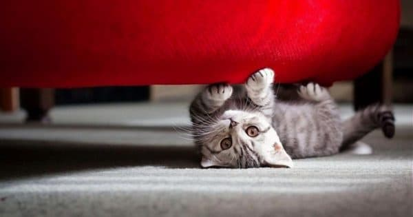 Как отучить кошку драть обои и мебель читайте статью