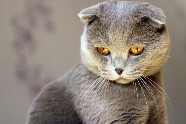 Как помочь кошке в период течки