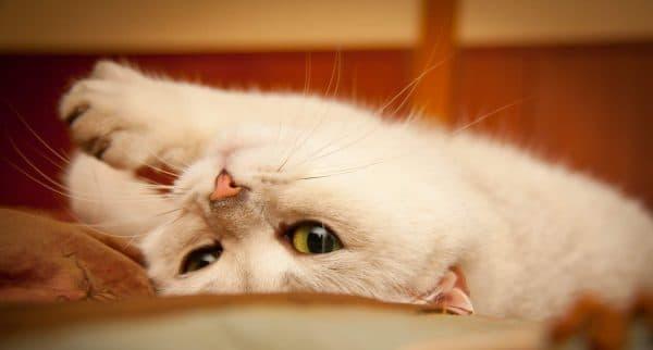 Первая течка у кошки. Когда начинается и сколько длится читайте статью