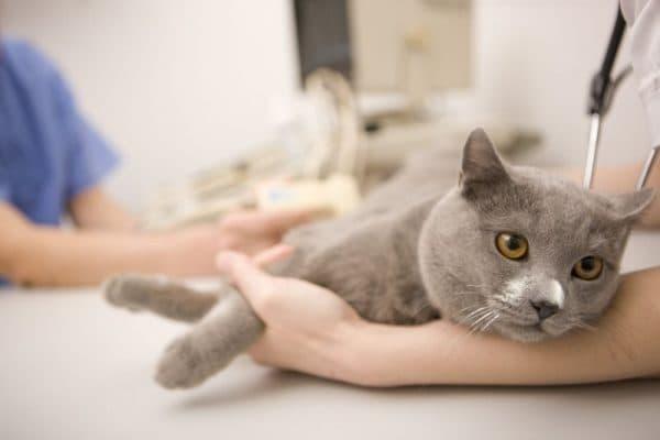 Причины возникновения запоров у котов