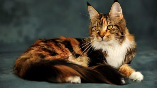 Пушистые кошки. Плюсы и минусы