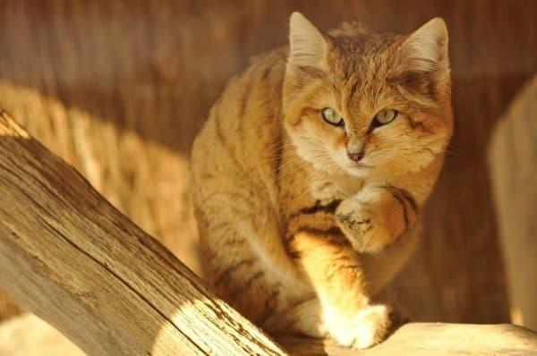 Барханный кот читайте статью