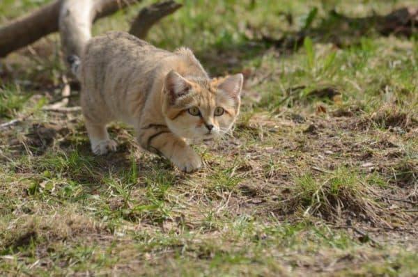 Барханный кот охотится
