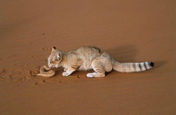 Барханный кот с добычей