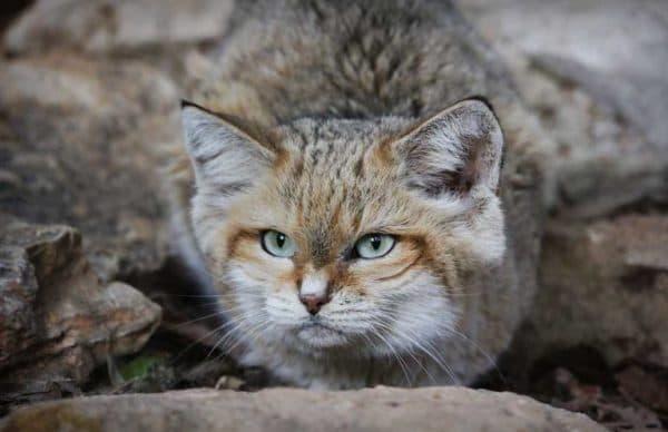 Барханный кот смотрит