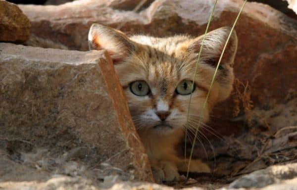 Барханный кот спрятался