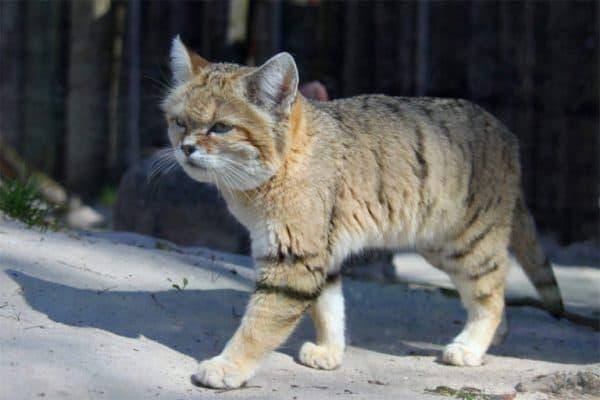 Барханный кот. Рацион питания