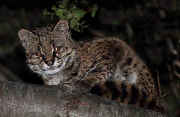 Чилийская кошка