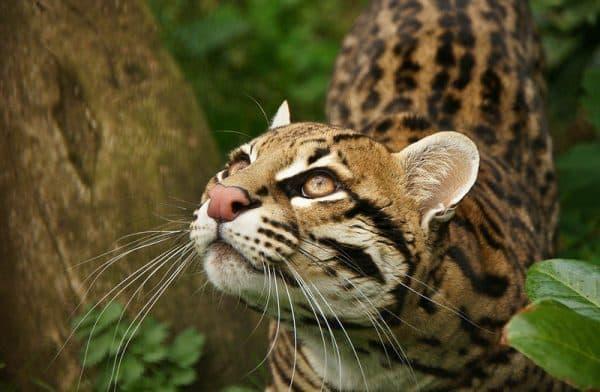 Чилийская кошка (кодкод)