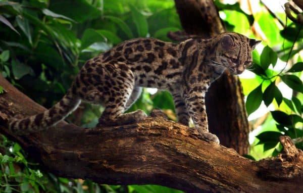Чилийская кошка (кодкод) описание