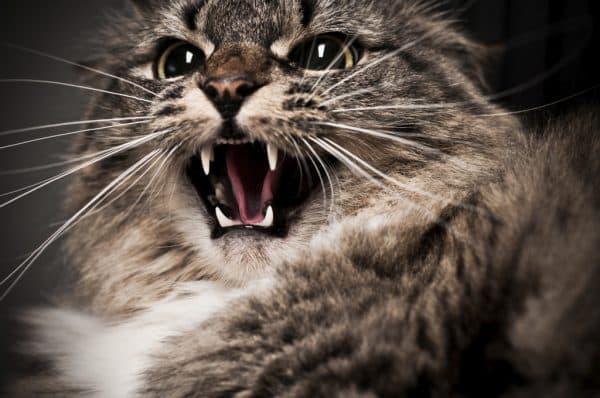 Что делать когда кот шипит