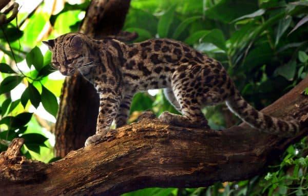 Длиннохвостая кошка красивое фото