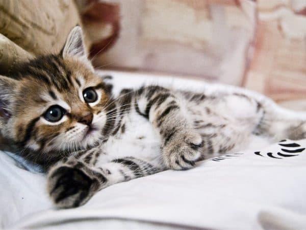 До какого возраста растут кошки и коты читайте статью