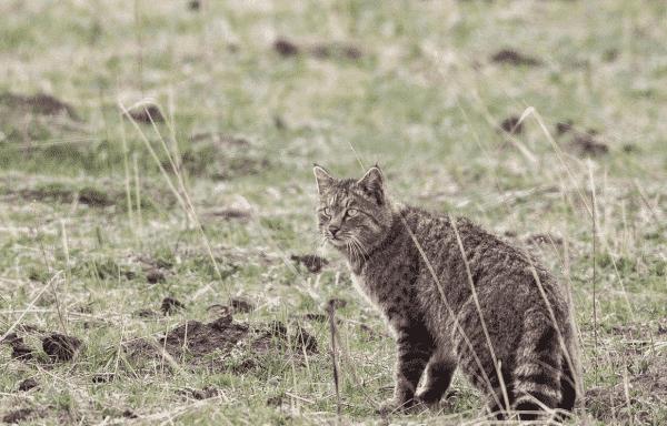Гобийская серая кошечка на фото