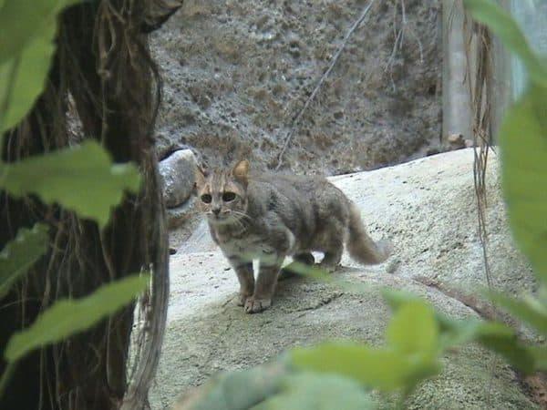 Гобийская серая кошка фото