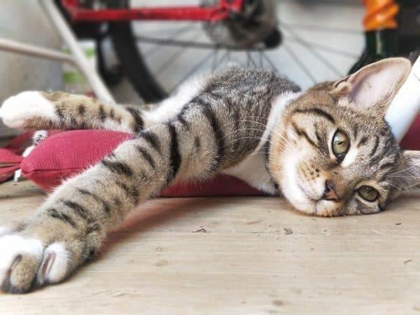 Как определить наличие у кошки ложной беременности
