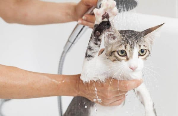 Как помыть кота. С какой периодичностью проводят водные процедуры