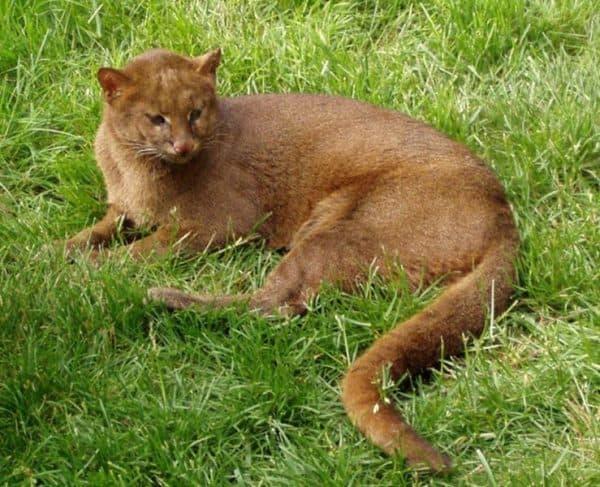 Калимантанская кошка фото