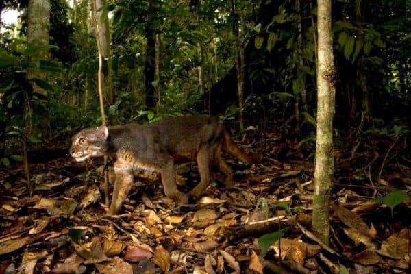 Калимантанская кошка ищет