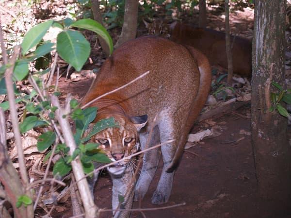 Калимантанская кошка выжидает
