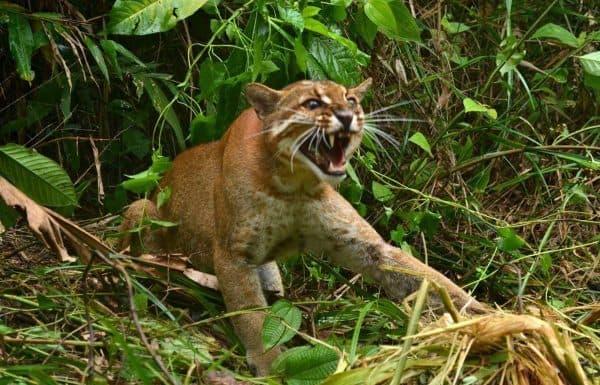 Калимантанская кошка. Размножение и содержание в неволе