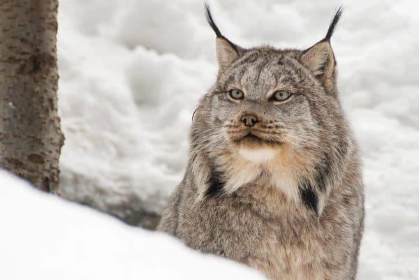 Канадская рысь смотрит