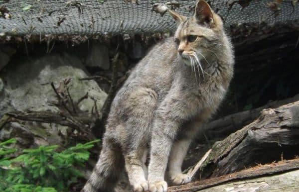 Китайская кошка или гобийская серая кошка читайте статью