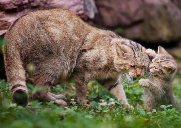 Китайская кошка или гобийская серая кошка описание
