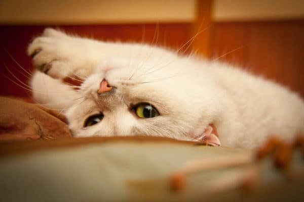 Кошка гуляет. Как успокоить животное во время течки читайте статью