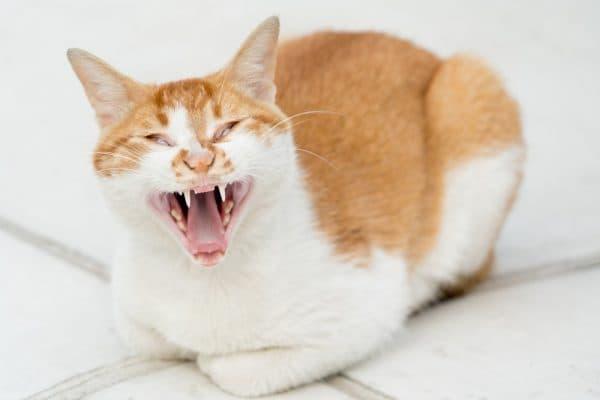 Кошка кричит