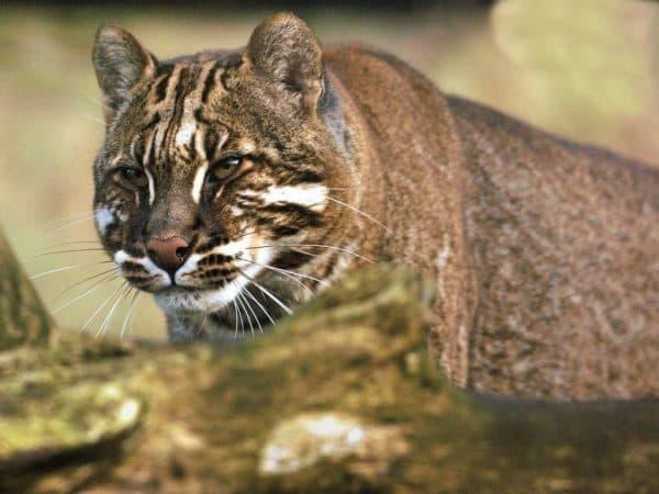 Кошка темминка (азиатская золотая кошка) читайте статью