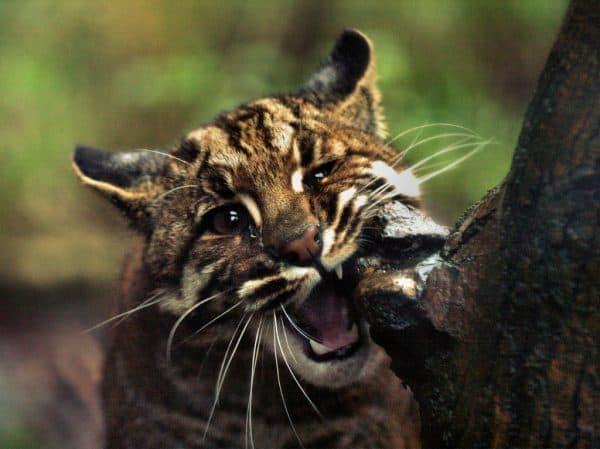 Кошка темминка (азиатская золотая кошка)