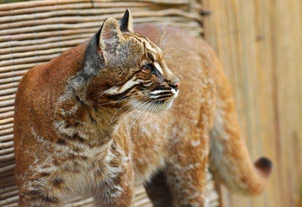 Кошка темминка (азиатская золотая кошка) описание