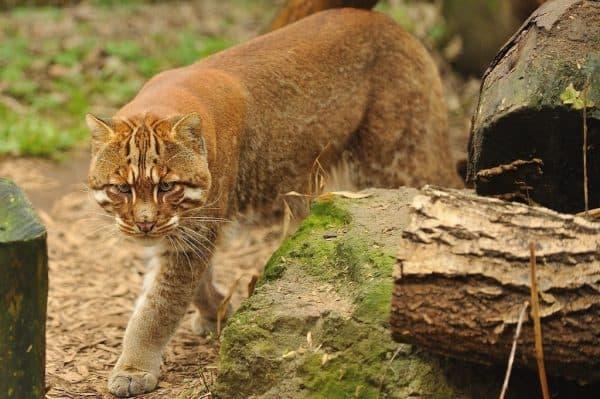 Кошка темминка