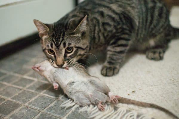 Котики несут убитых животных домой